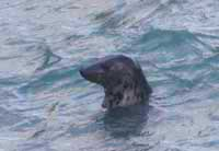 Grey seal at Tintagel Castle