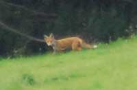 A fox in the Trebarwith Valley Nature Reserve
